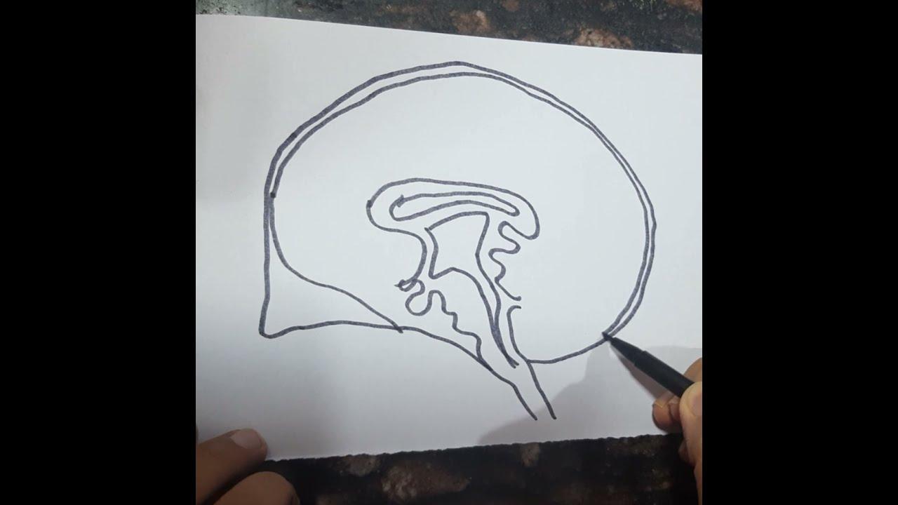 Human Brain Diagram Drawing class 10 Science biology ...