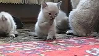 Приколы. Кошки. Котята прикольно умываются.