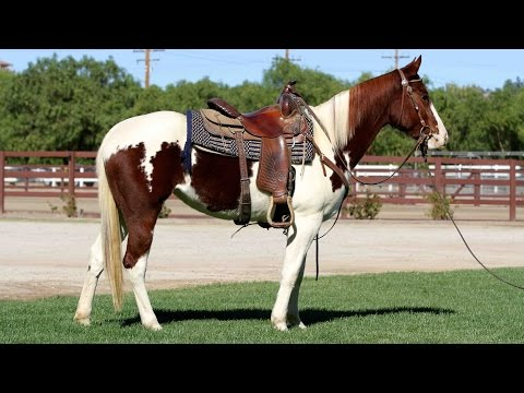 Gus - QH/Paint Gelding from YouTube · High Definition · Duration:  8 minutes 14 seconds  · 674 views · uploaded on 14.04.2014 · uploaded by Ally Cook