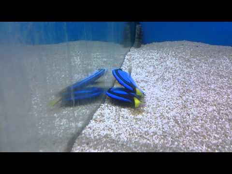 It Is Common For Blue Tang To Lay Flat Like Dead