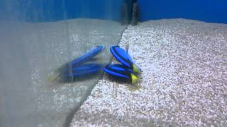 Baixar It is common for Blue Tang to lay flat like dead