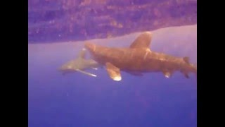 Shark video, Подводное видео акул в Красном море.