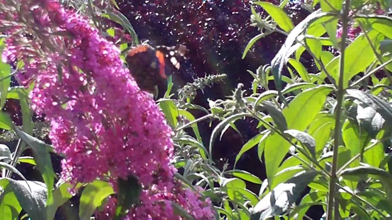Schmetterlingsbaum Youtube