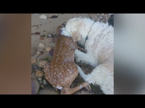 Hero dog rescues drowning deer during morning walk