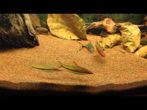 Denison Barb / Red Line Torpedo Barb / Puntius Denisonii / Sahyadria Denisonii