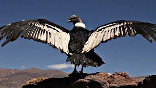 Вылеченного кондора отпустили на волю в Аргентине (новости)