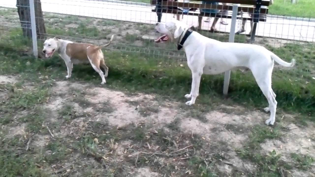 Dogo argentino and amstaff - YouTube