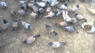 Tasheen yousuf lalban pigeons hyderabad india