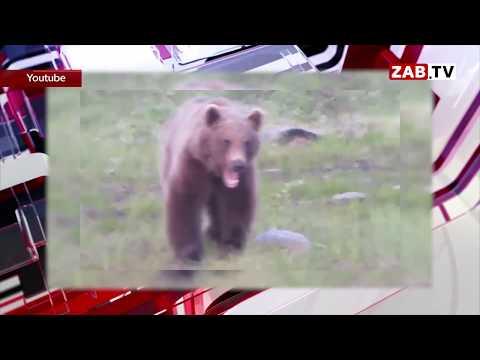 Правительство Забайкалья не считает нужным обсуждать выход медведей из леса из-за голода
