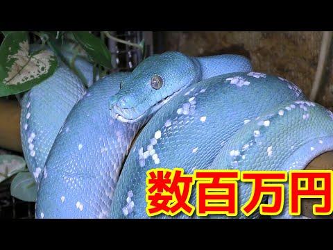 数百万円の青いヘビ「ブルーコンドロ」が美し過ぎる・・・!