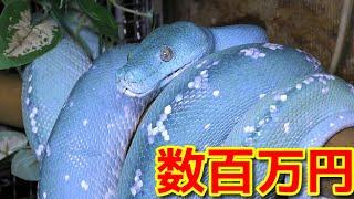 海老名市にある大蛇カフェLoungeさんでグリーンパイソンのブルーコンド...
