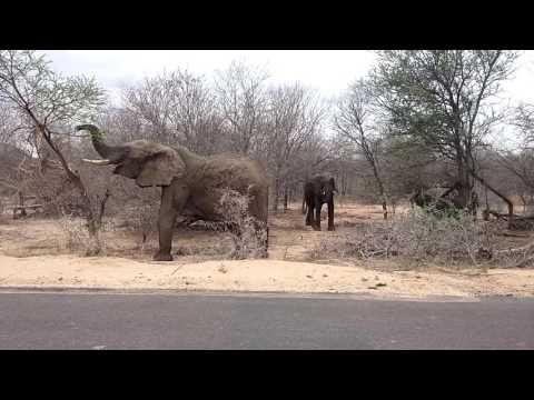 Olifant in Kruger Park