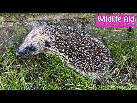Hedgehog mum moving her babies