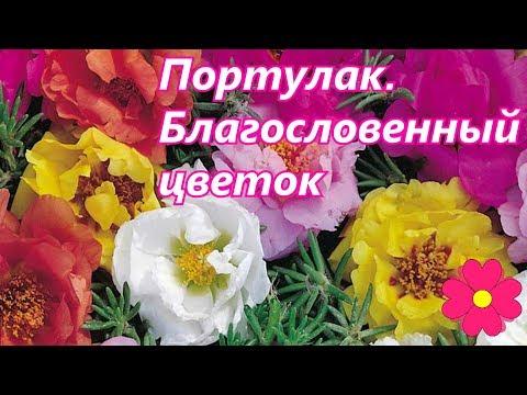 Портулак.  Благословенный цветок