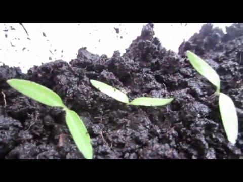 видео: Мини-Парник для рассады из пэт бутылки