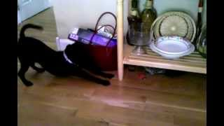 """Staffordshire Bull Terrier """" Attacks """" Angry Cat."""