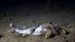 Atlantic cod decomposition