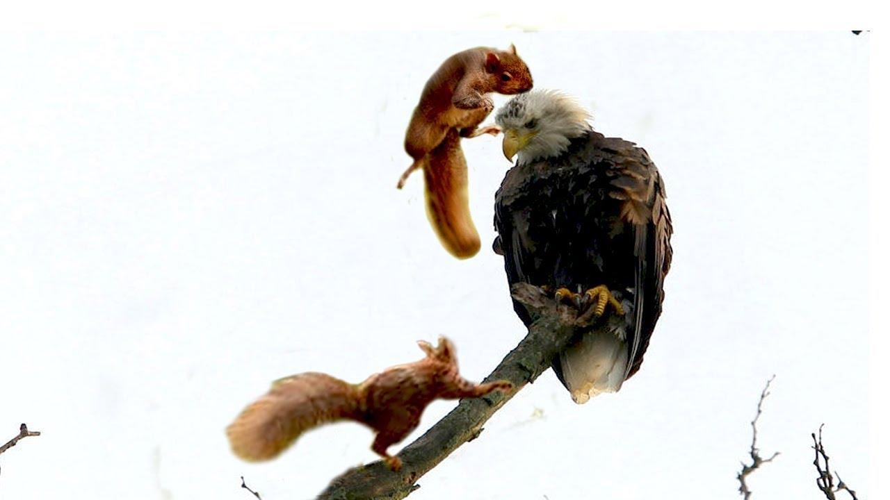 Bầy sóc hung tợn vây bắt đại bàng để báo thù ...