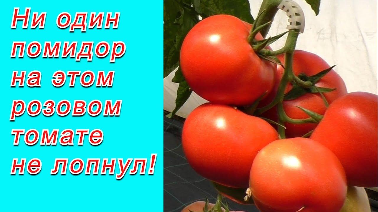 Розовый томат, который совершенно не лопается!