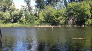 Курцхаар охота на утку  в воде_(2) Kurtzhaar duck hunting in the water