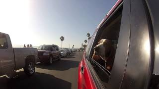 Bentley the Basset Hound takes on Coronado California