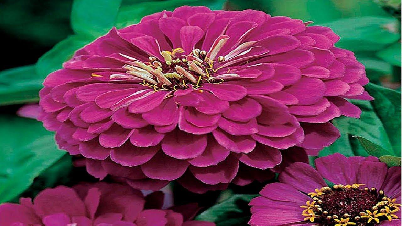Zinnia purple seeds summer flower seeds buy online youtube zinnia purple seeds summer flower seeds buy online izmirmasajfo