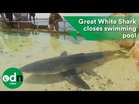 Great White Shark closes swimming pool