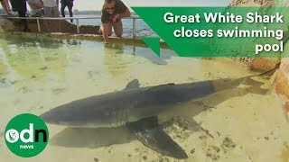 Great White Shark closes swimming pool