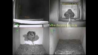 Spotted Eagle Owl Attacks Barn Owls In Nest