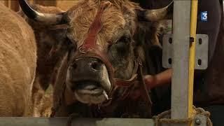 Salon de l'agriculture : on a choisi les plus belles vaches de l'Aubrac