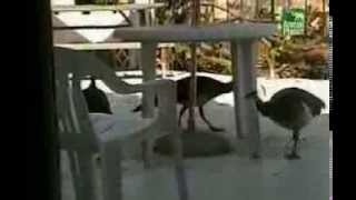 Funniest Home Videos 4 - Animal Party special part 2 (dutch subtitles-nederlands ondertiteld)