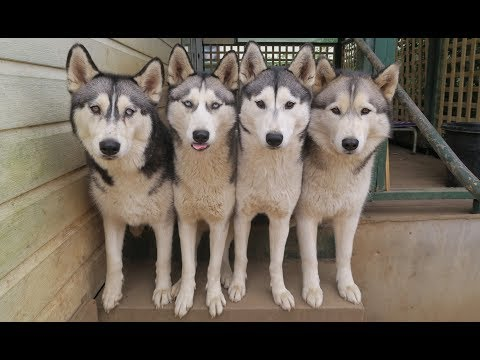 THERE IS ALWAYS ONE! | WHAT IS IT REALLY LIKE OWNING 4 HUSKIES & 2 CHILDREN? | VLOG