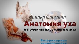Анатомия уха и причины наружного отита
