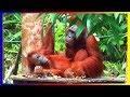 Bornean Orangutan Monkey Breeds Mating In Love And Training Around The World