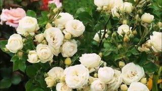 The white garden Sissinghurst . Белый сад - чудо Сиссингхерста.