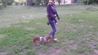 Такса Сэм, свободная прогулка / Dachshund Sam, free walk