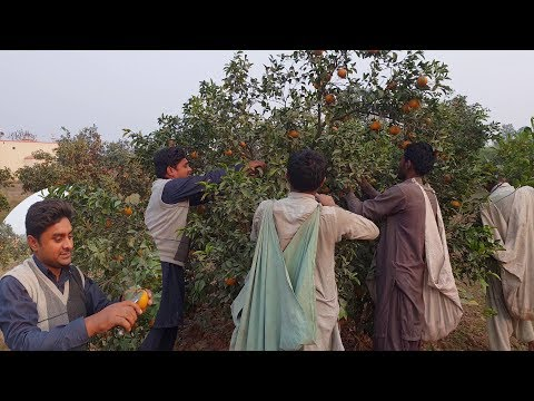 Pakistani Orange ready for Export | Sargodha ka Malta | Garden to Factory full Processes