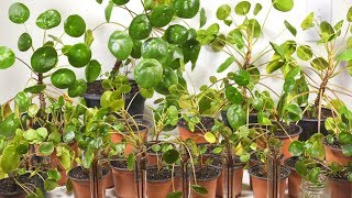Buy A Pilea Peperomioides And They Will Take Over! ( Pilea Giveaway )