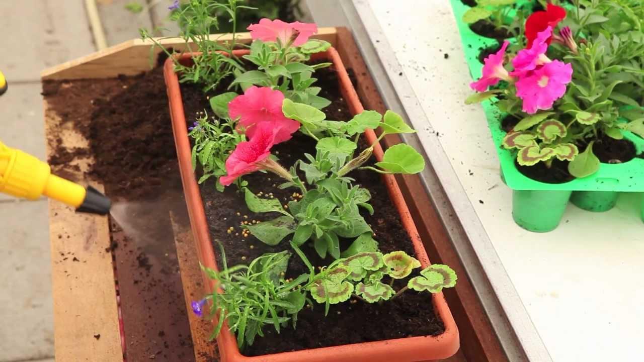 G ranium petunia lobelia youtube - Quand planter les geraniums ...