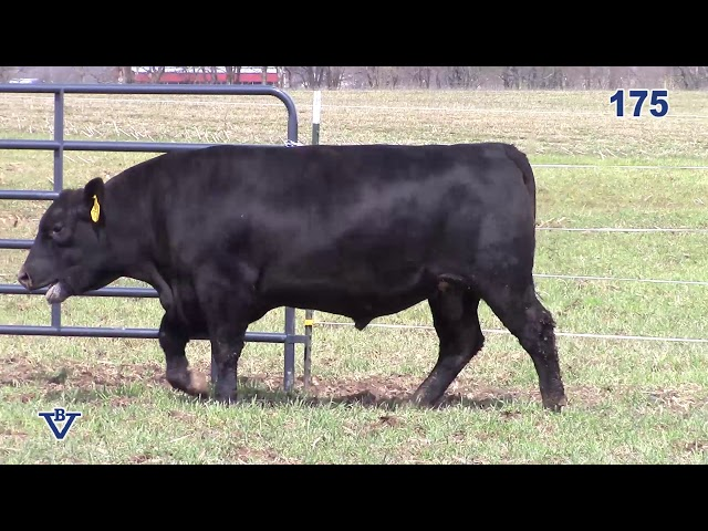 Branch View Angus Lot 175