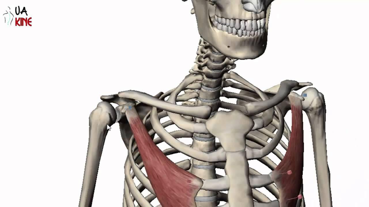 anatomía Pectoral menor (Características) - YouTube