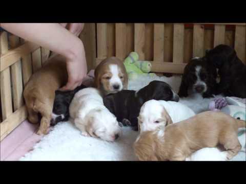 Cocker Spaniel Puppies Sleeping and Exploring