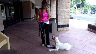 Puppy Training Labrador Puppy Bleu Obedience Training  Dogtra Pager E Collar