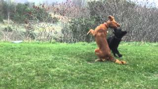 Flatcoated Retriever And Golden Irish Setter Fight