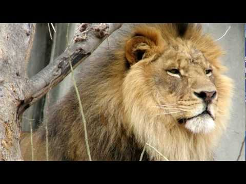The Lion Sounds & Pictures