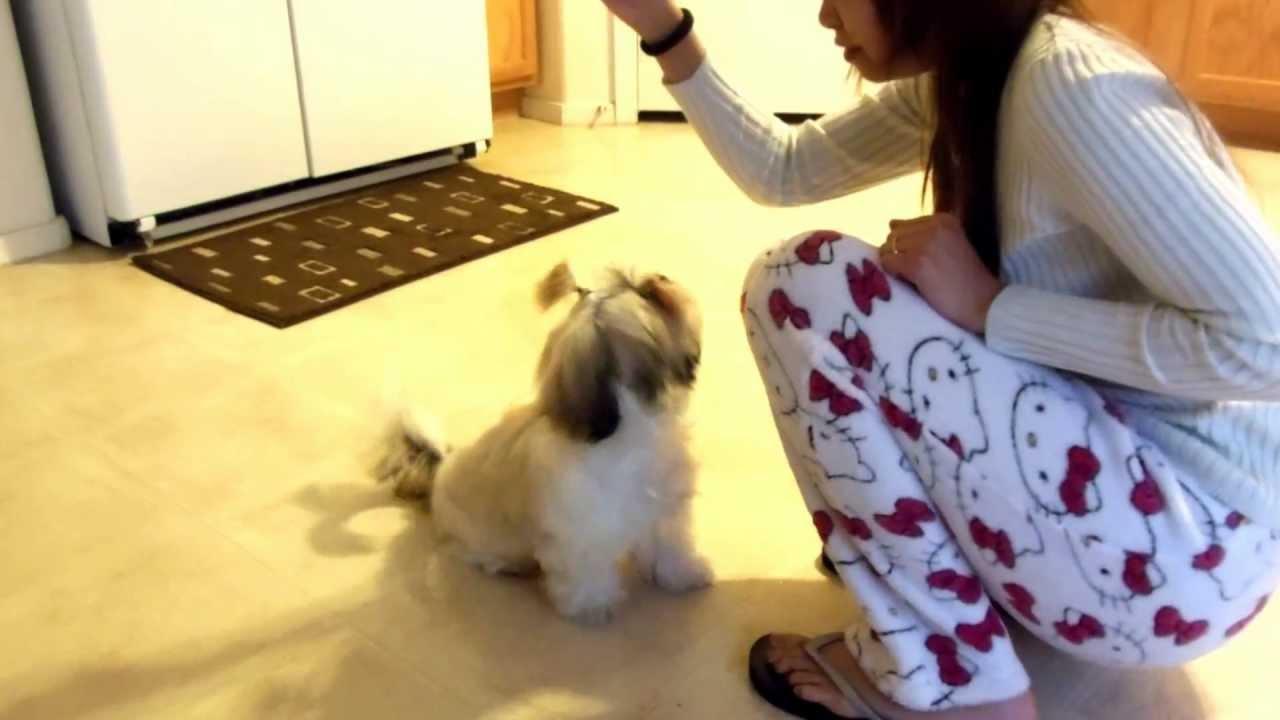 Shih Tzu Puppy Training You