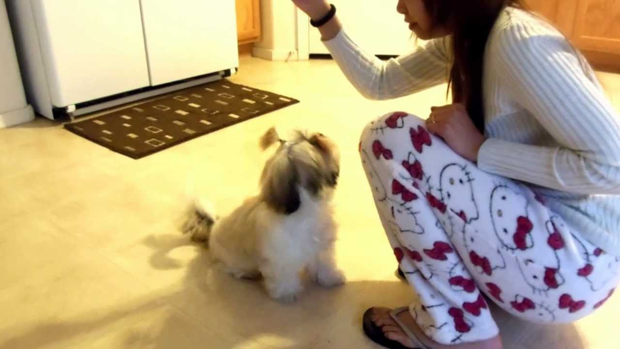 Shih Tzu Puppy Training Youtube