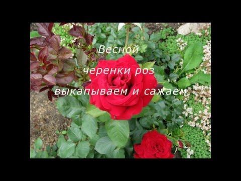 Классификация роз.
