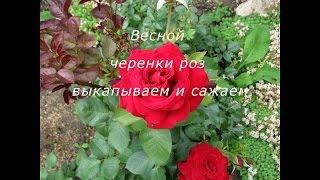 Как сохранить черенки роз осенью и посадить их весной(Это видео можно смотреть в HD качестве Осенью, производим глобальную обрезку роз, после которой остается..., 2014-10-23T09:04:04.000Z)