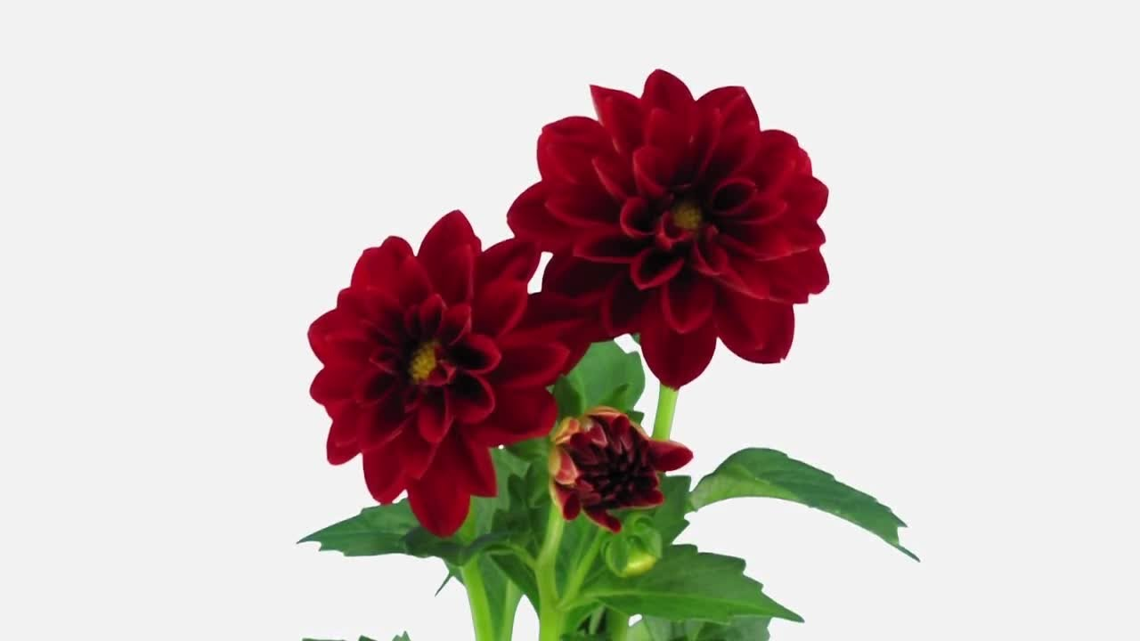 Red Dahlia Flowers Opening Stock Video Youtube